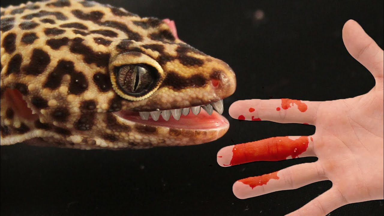 How To Stop Your Leopard Gecko Biting You