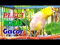 Pleci Ngalas Gacor Ngerol Full Isian Mewah Nalela Kicau  Mp3 - Mp4 Download