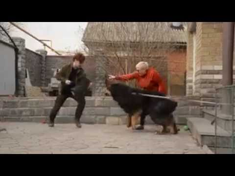 Attack Dog Training Videos -Tibetan Mastiff Attack Training