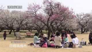 2015.3.18撮影 梅88%開花,田鶴鳴梅林,偕楽園本園