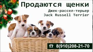 Реклама в транспорте  (Щенки Джек Рессел)(, 2015-12-16T13:35:36.000Z)