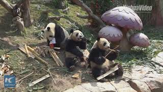 Watch world's only giant panda triplets celebrate Chinese New Year