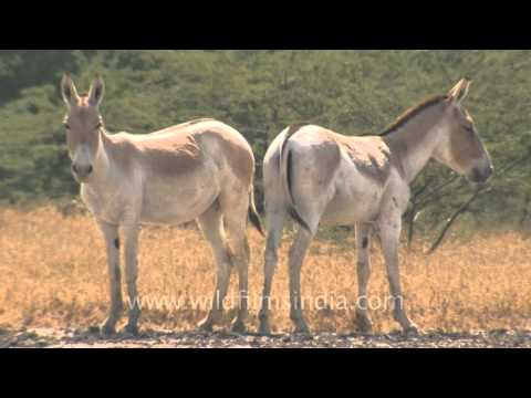 Wild Asses, posing for the camera, Gujarat