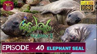 Sobadhara - Sri Lanka Wildlife Documentary | 2019-12-27 | Elephant Seal ( සීල් මත්ස්‍යා ) Thumbnail