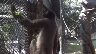 よこはま動物園ズーラシアのコモンウーリーモンキー 【Zoo 動物園 再生...