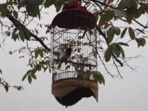 Chòe than già rừng hót đấu chim trời (30032013)