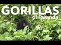 Mountain Gorillas of Rwanda | Volcanoes National Park