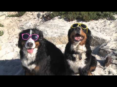 A Beach Day For Hannah - Bernese Mountain Dogs
