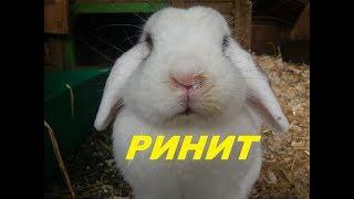 Ринит у кроликов. Лечение насморка у кролика.