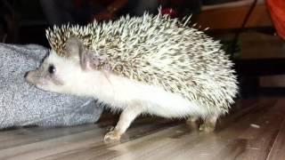 angry hedgehog attacks -Zły jeżyk  atakuje