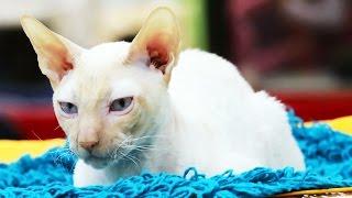Лучшие породистые коты и кошки России. Выставка кошек #2: Взрослый ринг день 1