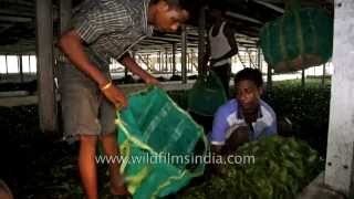 Fresh leaf gets sorted and bagged - Tea factory in Assam