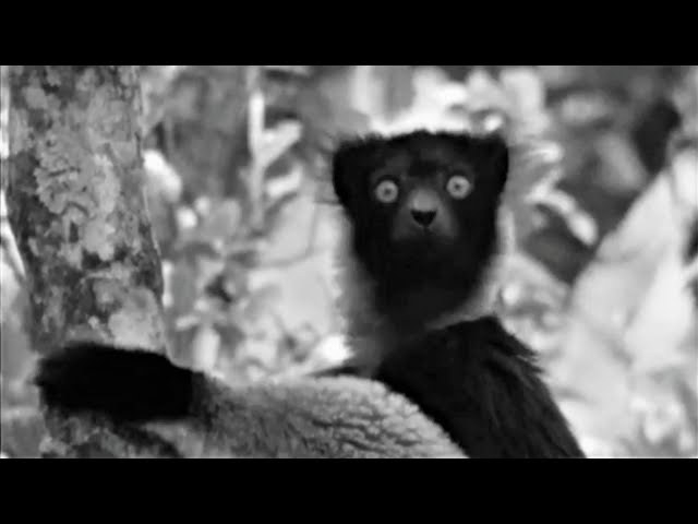 Sir David Attenborough (1961) Best Of Zoo Quest To Madagascar | BBC Earth