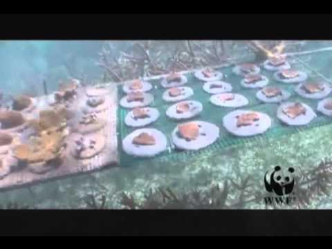 Coral Reef Resilience Building in Mesoamerican Reef