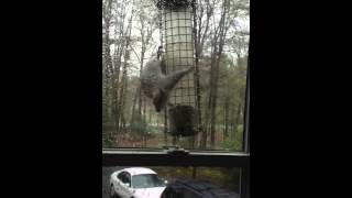 Squirrel Fails On Spinning Squirrel Deterrent Bird Feeder