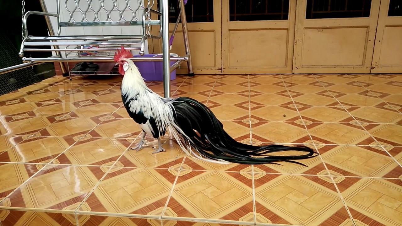 Gà phoenix ,gà phượng hoàng