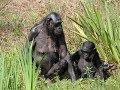 La Vallée des Singes ( les Bonobos)