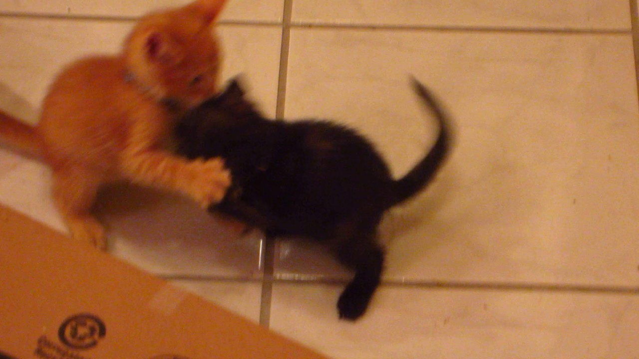 Cat Meowing After Play Fight