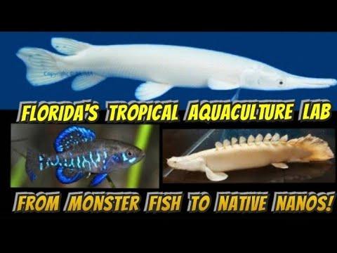 Monster Fish & Nano Native Species At The Florida Tropical Aquaculture Lab (19:45 Platinum Gar!)
