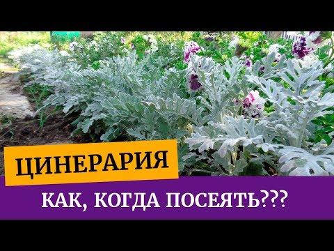 Рассада цинерарии. Особенности выращивания. Посев.