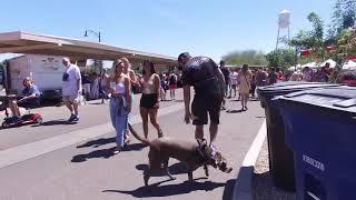 Nellie 1 yo Silver Lab Best Arizona Dog Trainers