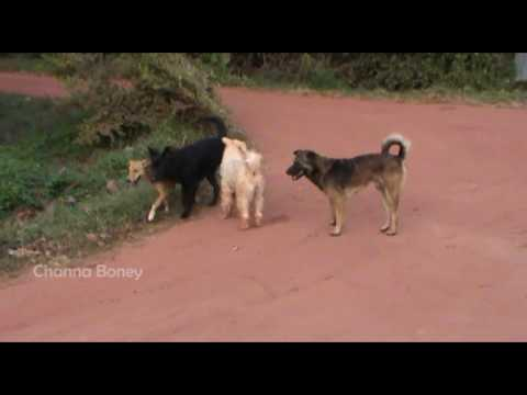 In the Morning Rural Street Dogs Belgian Sheepdog Meeting Canaan Dog On the Road