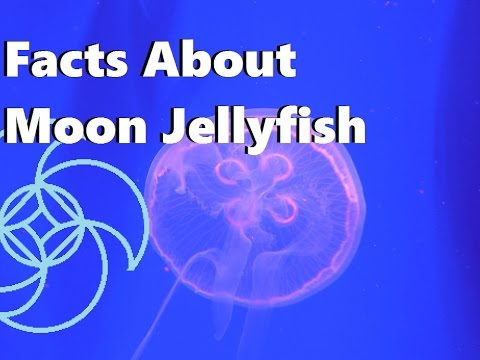Facts About Moon Jellyfish; Aqua Life Episode 3
