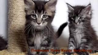 Котята Мейн Кун, 1 месяц и 10 дней.