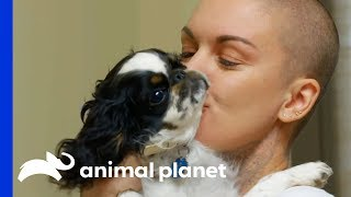 English Toy Spaniel With A Severe Heart Murmur Gets Medical Help   Amanda To The Rescue