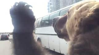 Медведь на мотоцикле в Северодвинске