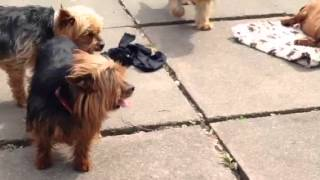 Yorkshire Terrier Looking For Someone To Love Her Forever
