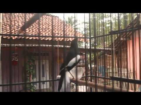 Kicau Burung~Kacer dada putih gacor