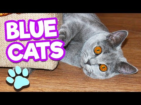Russian Blue Cats Are Funny, Cute & Smart | #thatpetlife