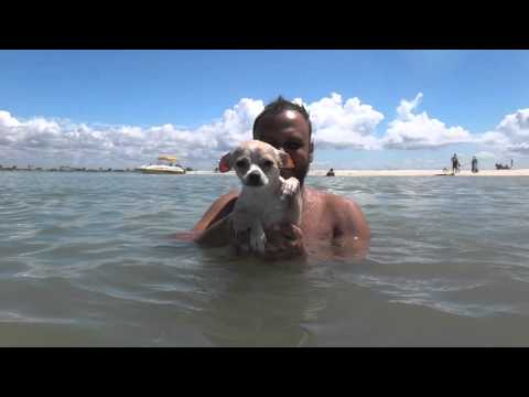 Funny Chihuahua Swimming, Must watch!