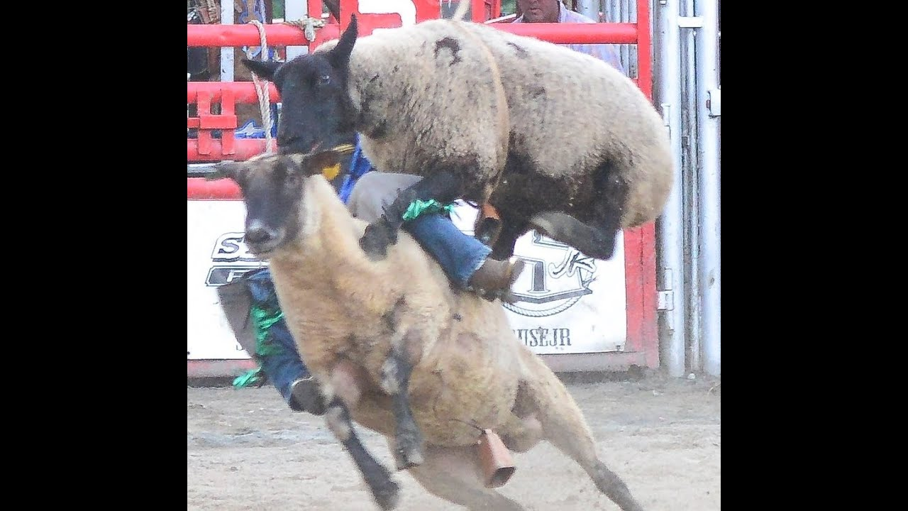 Kid Gets Quot Sheep Wrecked Quot At Rodeo Funny Mutton Bustin