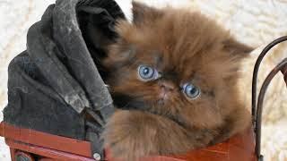 OH NO! Iris's 4 1/2 Week Old Chocolate Persian Kitten Photo Bomb