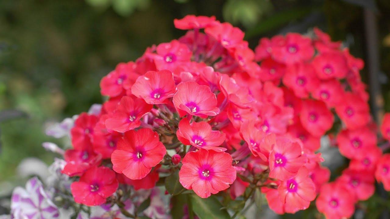 Самые ранние флоксы Радуга в вашем саду и облака цветов ...