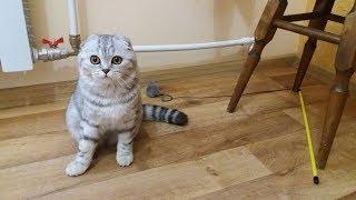 Игры Котенка Ночью 😻Кошка ночью не спит Scottish Fold Шотландская Вислоухая Кошка Хлоя 🐱 Kitten Cat