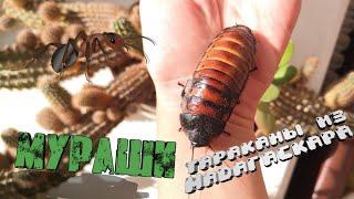 Мои муравьи #1. Новые МАДАГАСКАРСКИЕ ТАРАКАНЫ.