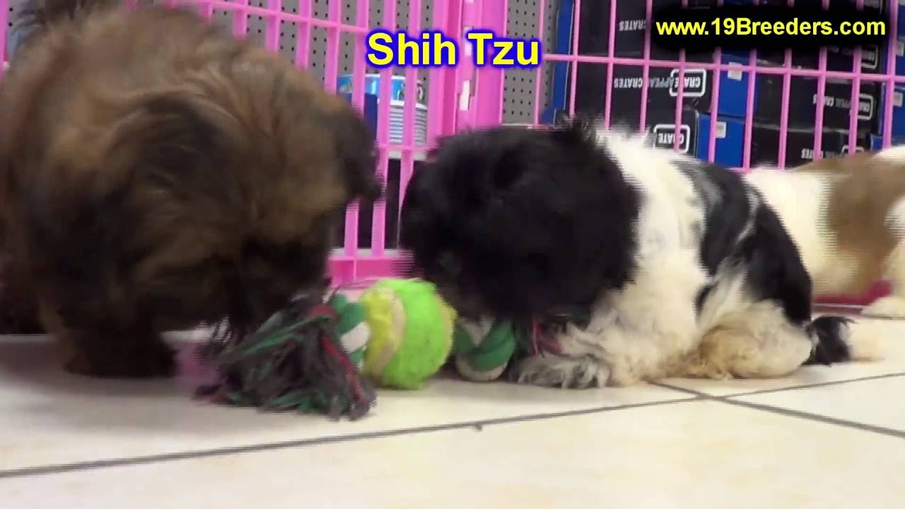 Shih Tzu, Puppies, Dogs, For Sale, In Anchorage, Alaska, AK ...
