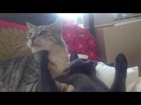 Egyptian mau and Russian blue kitten