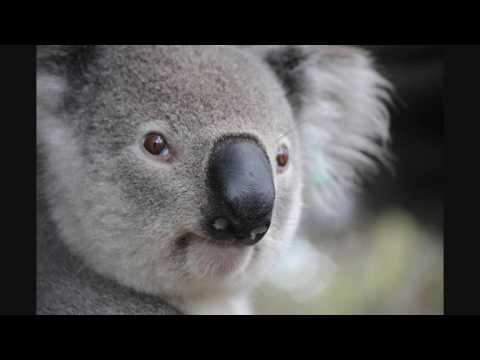 Cuddly Koalas Lyrics - Lyrics for the Australian Kids Action Song