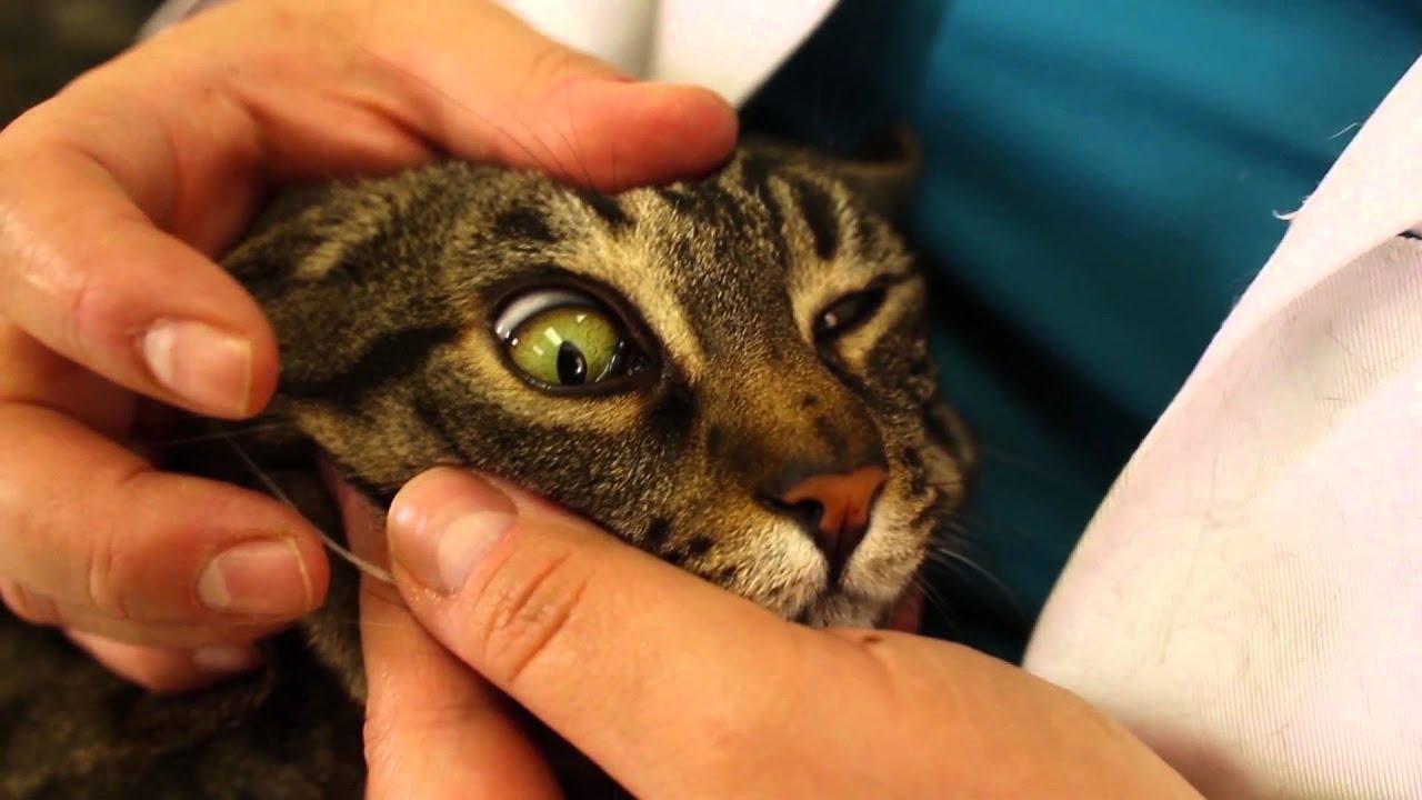 enfermedad hepatica felina