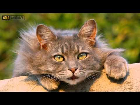 Annonce chat Espace Mittelland Suisse - GoldAnnonces #animaux