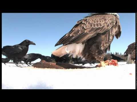 Amazing Spy Video Of Bald Eagles Eating Fish On The Ice Of Lake Nipigon