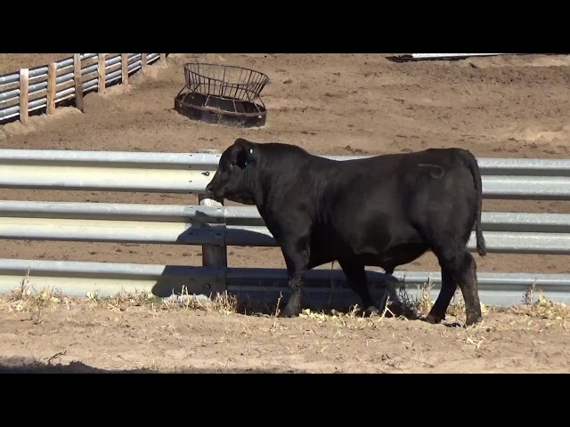Connealy Angus Lot 25