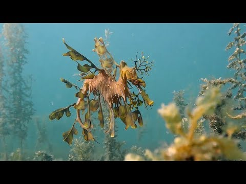 Diving in South Australia - Leafy Sea Dragon, Sea Lions & More!