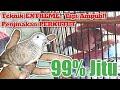 Cara Jitu Menjinakan Perkutut Patut Diterapkan Pada Burung Giras Ombyokan Perkutut Banyu Mili  Mp3 - Mp4 Download