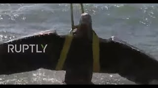 Uruguay: Footage shows moment huge Nazi eagle is salvaged from WWII shipwreck - ARCHIVE