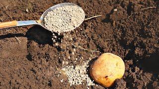 1 столовая ложка этого в лунку при посадке и картошка будет огромной! Удобрения В ЛУНКУ ПОД КАРТОШКУ